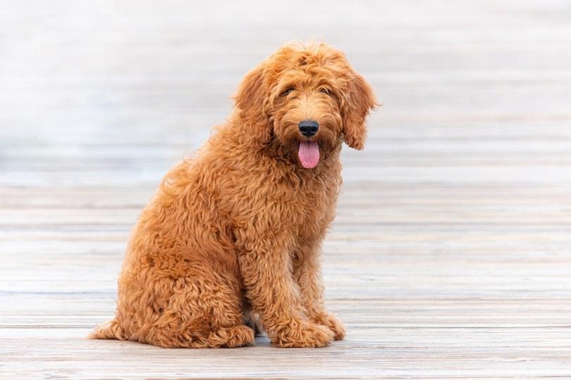 Goldendoodle_Matthew-Yoder_Shutterstock