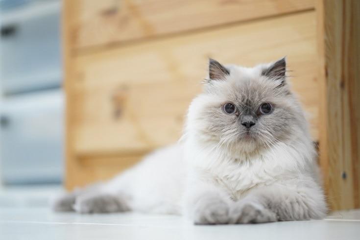 Himalayan-cat_Shutterstock_Nattapong-Pongpiyapan