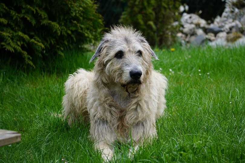 Irish Wolfhound resting on grass