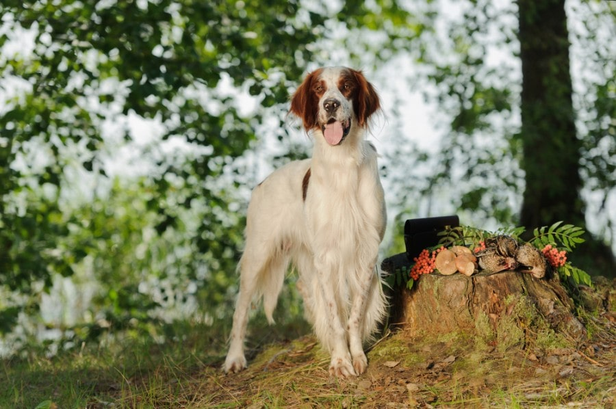 Irish red and white setter near to trophies