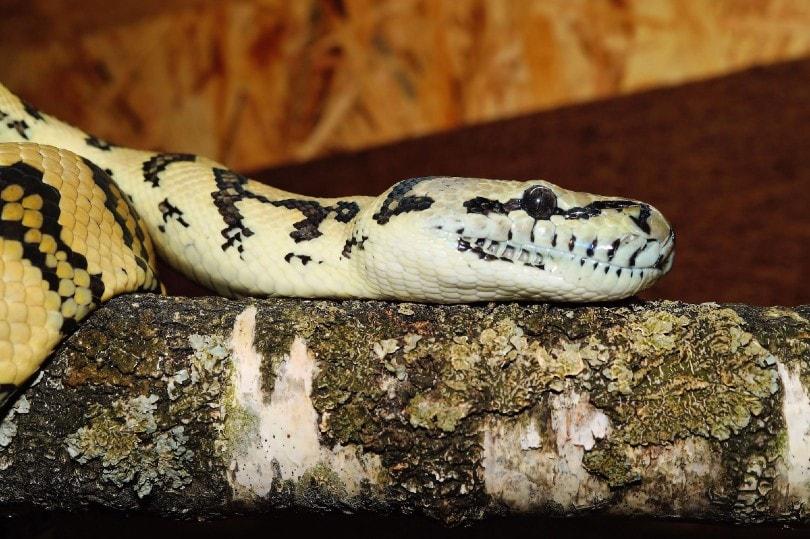 Jaguar Hognose Snake