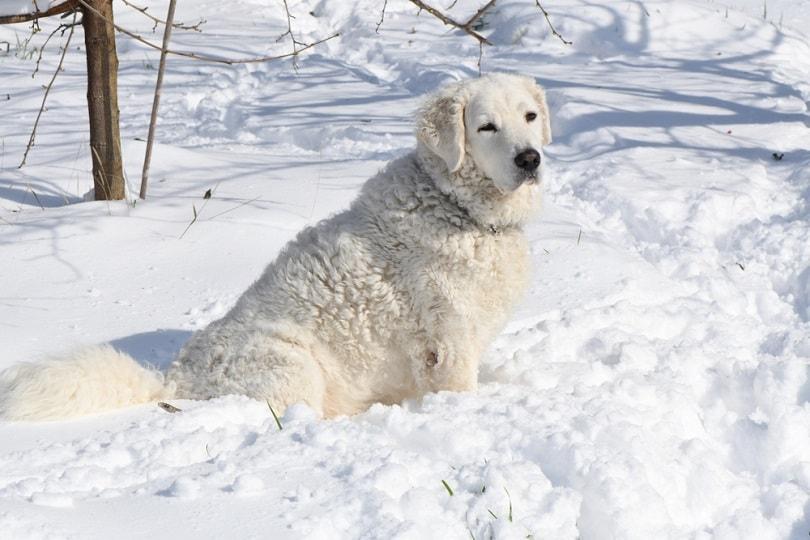 Kuvasz sitting in the snow