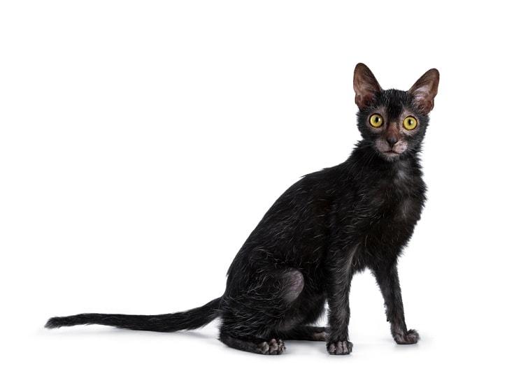 Lykoi-cat_Shutterstock_Nynke-van-Holten