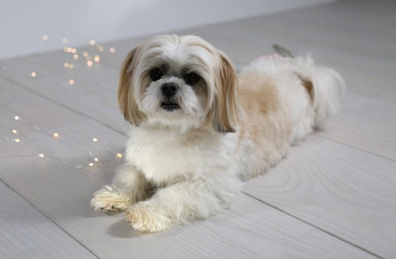 Malshi dog lays with lights