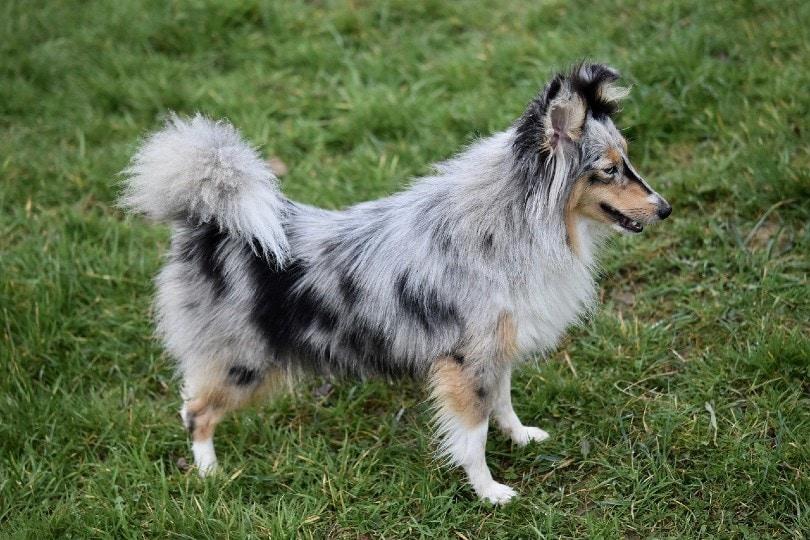 Merle Shetland Sheepdog