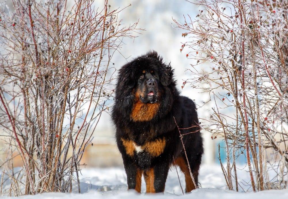 Mountain Mastiff tibetan