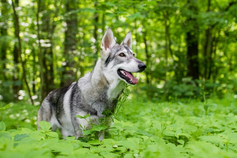 Northern-inuit-dog_Aneta-Jungerova_shutterstock