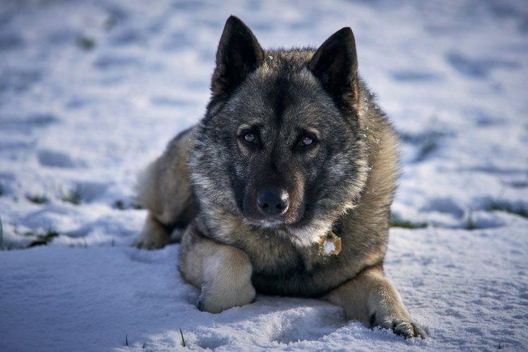 Norwegian Elkhound_Shutterstock_Maxim_ka