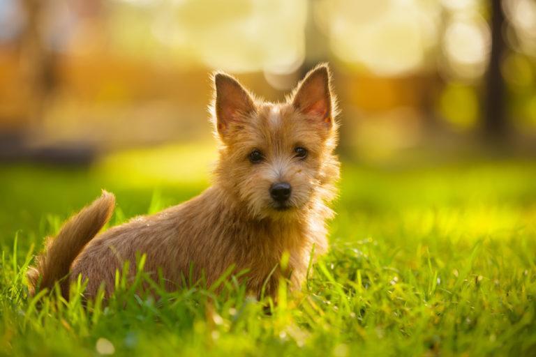 Norwich Terrier_Shutterstock_Natalia Fedosova