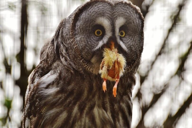 Owl eating_Alexas_fotos_Pixabay