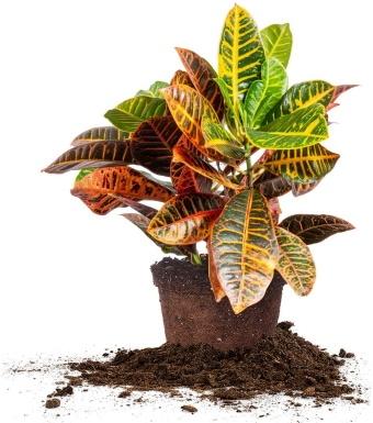Perfect Plants Croton Petra_Amazon