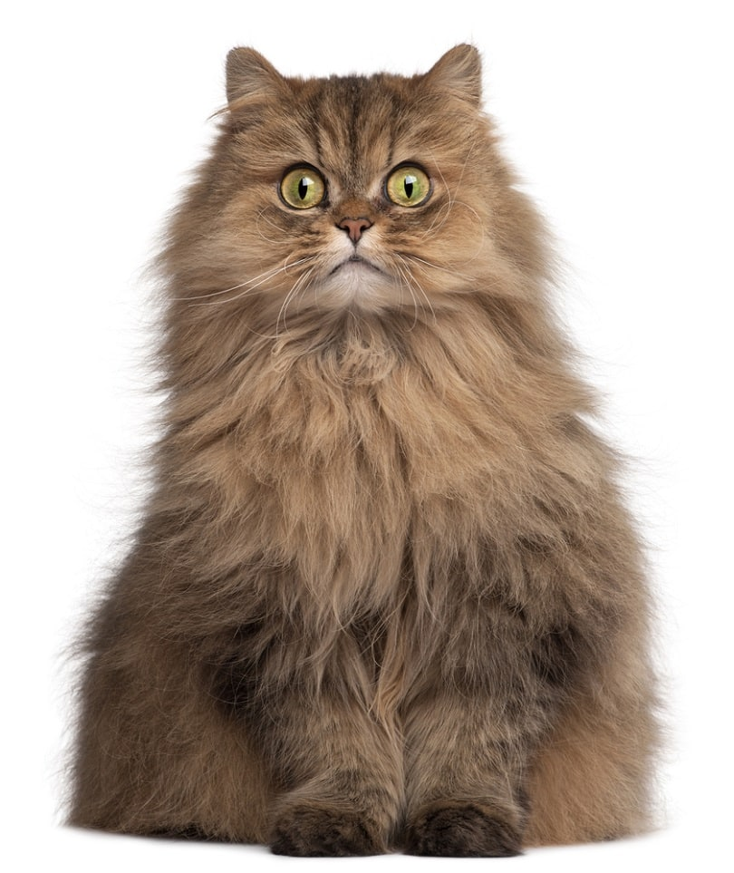 Persian cat 6 years old