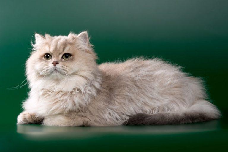 Persian cat_blue-chinchilla-with-green-eyes_OksanaSusoeva_shutterstock