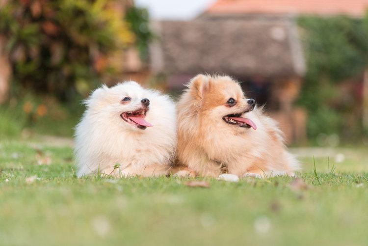 Pomeranian_Shutterstock_APIWICH PUDSUMRAN