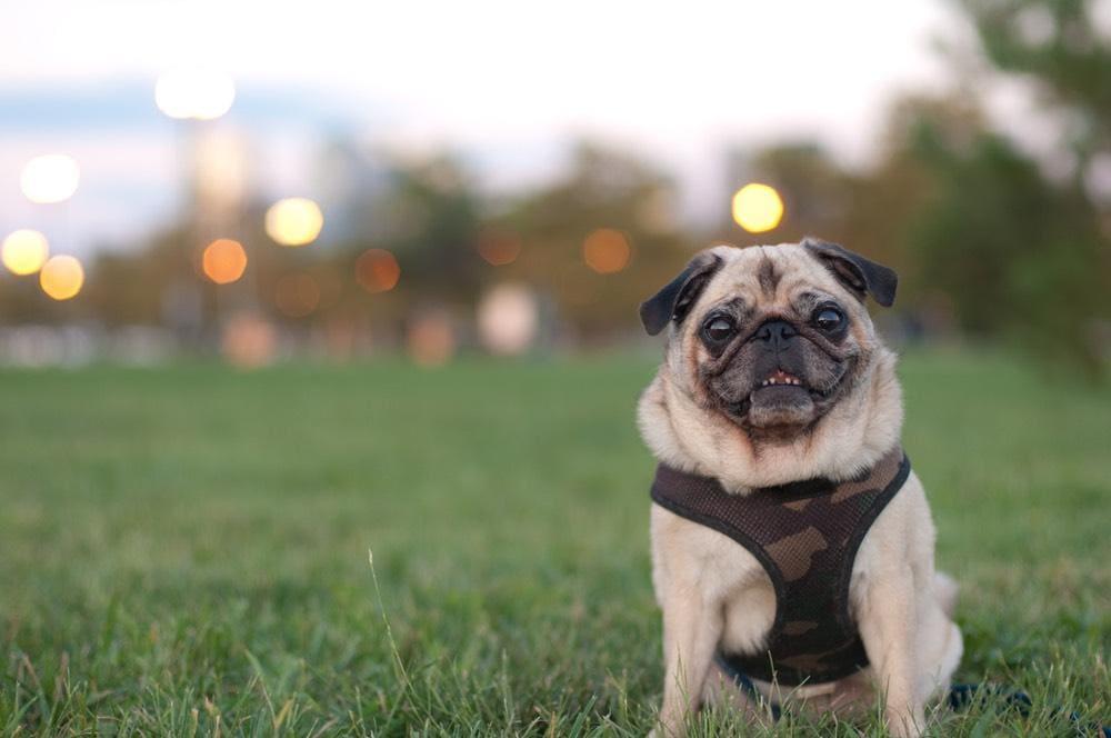 Pug in harness