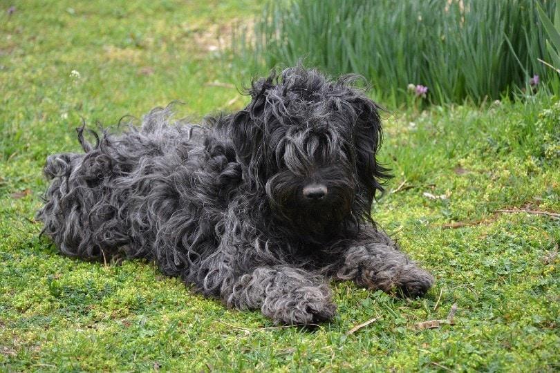 Puli dog lying on grass