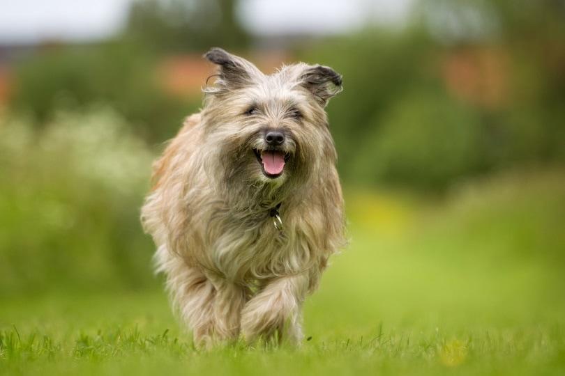 Purebred-Pyrenean-Sheepdog_BIGANDT.COM_shutterstock