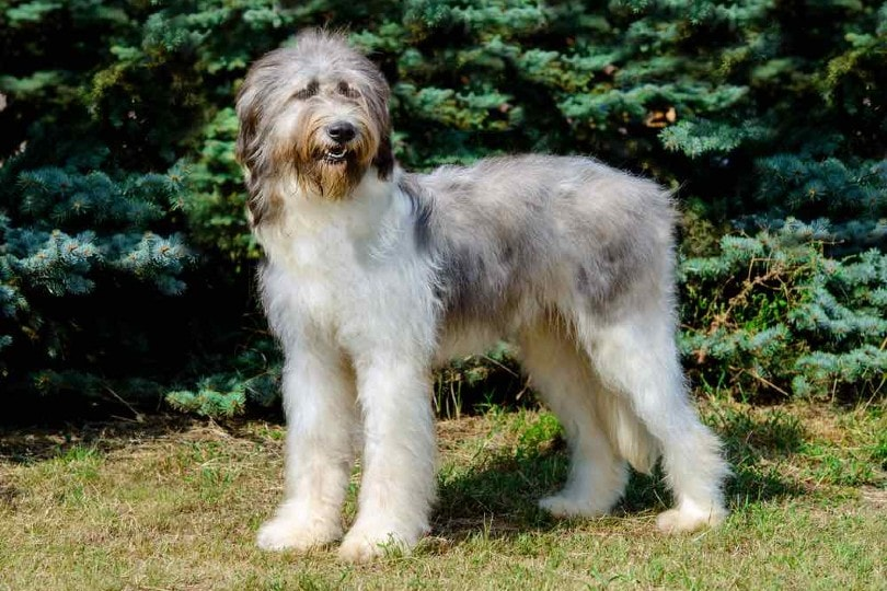 Romanian Mioritic Shepherd