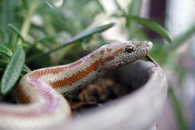Rosy Boa snake