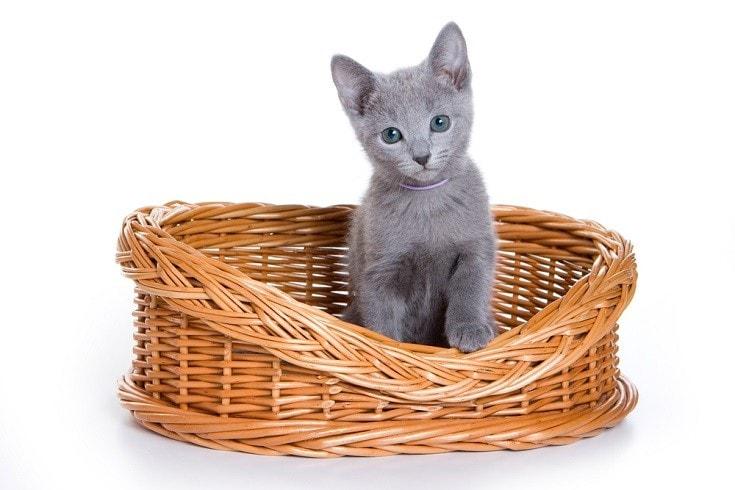 Russian Blue Kitten in basket