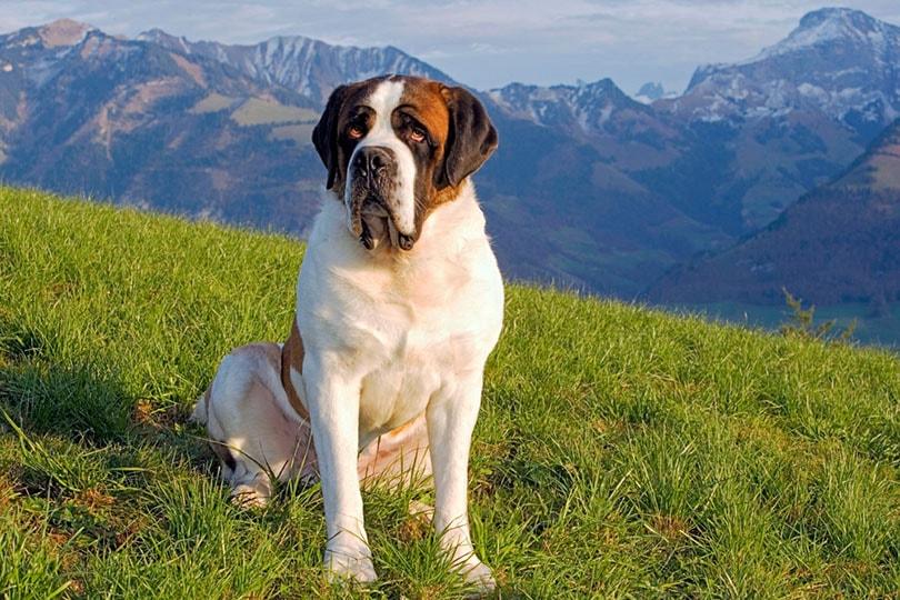 Saint Bernard sitting in meadow