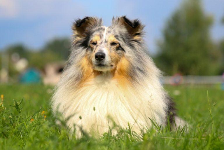 Shetland Sheepdog_Lisjatina_Shutterstock