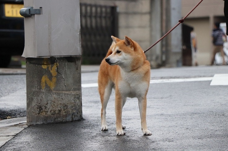 Shiba-Inu-dog