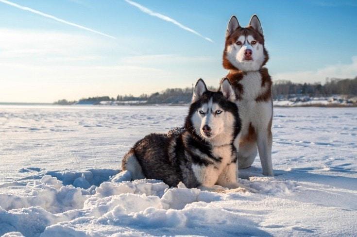 Siberian Husky_Shutterstock_Konstantin-Zaykov