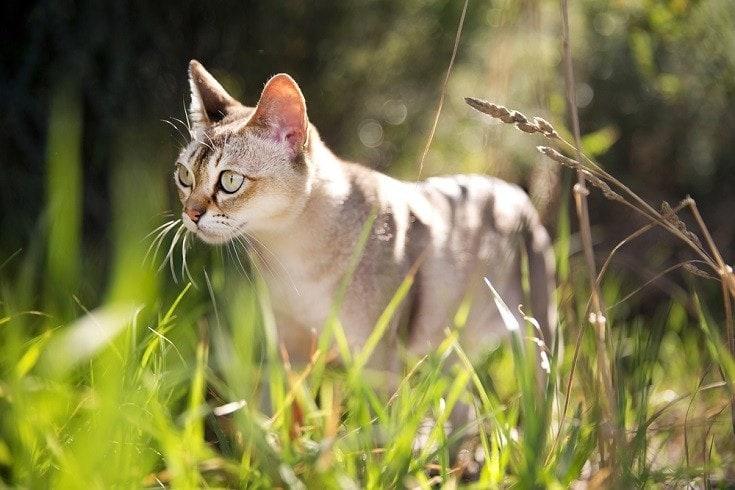 Singapura-cat_Shutterstock_jojosmb