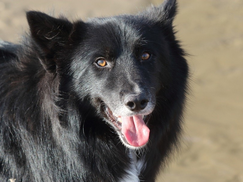 The portrait of a beautiful Border Collie cross Shetland Sheepdog