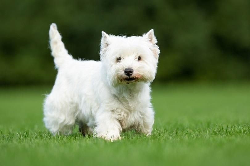 West Highland White Terrier dog on grass