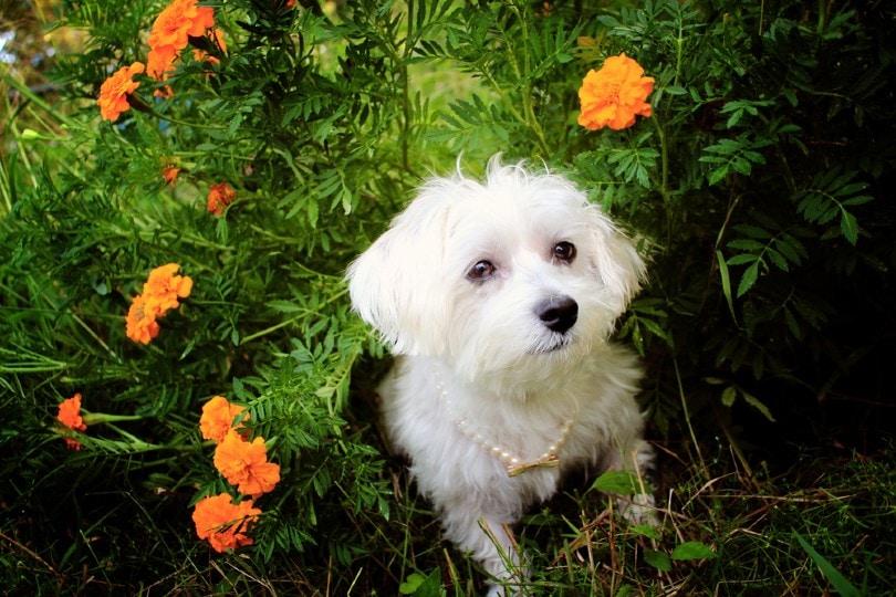 White Female Havanese Dog In Marigold Flowerbed