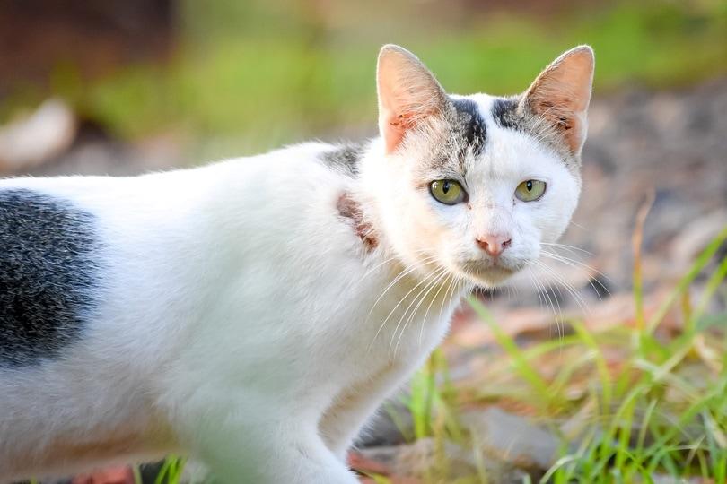 White-Javanese-cat_Munfarid_shutterstock