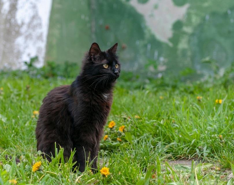 York chocolate cat backyard