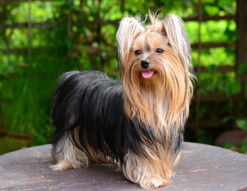 Yorkshire Terrier standing on a wooden table