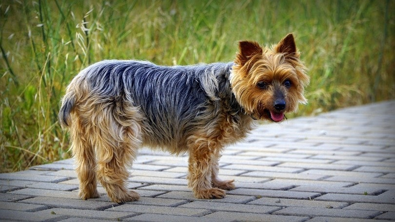 Yorkshire Terrier standing on the pavement