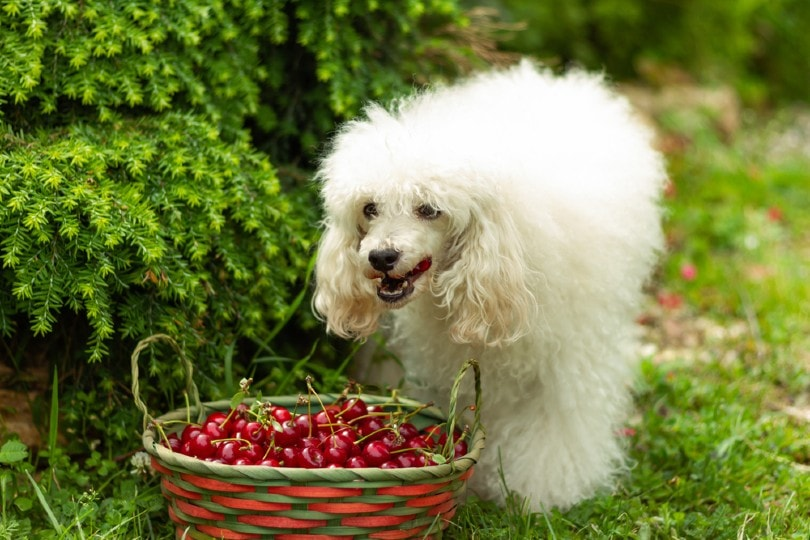 a white dwarf poodle eats cherries