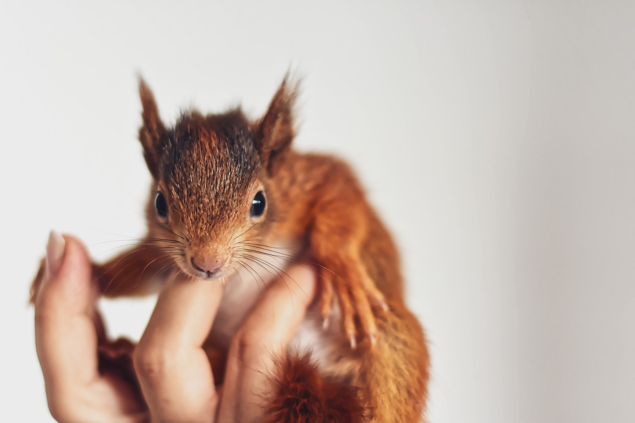 a young squirrel