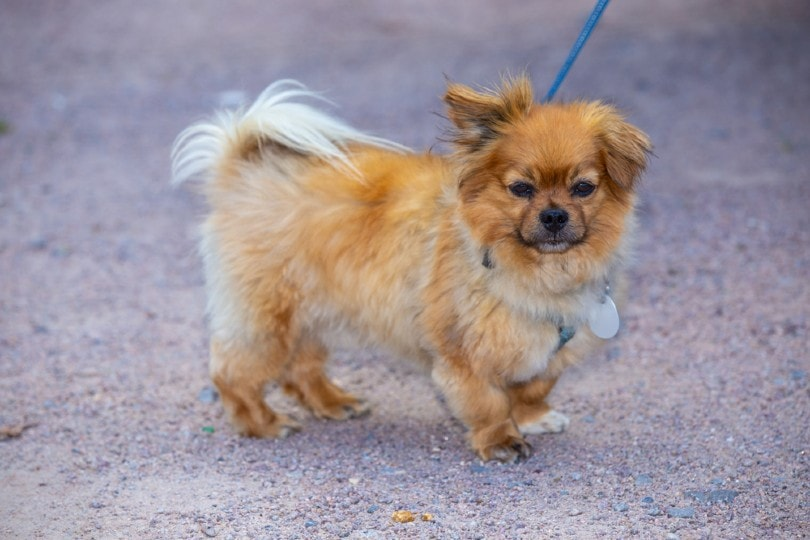 affenpinscher dog breed on a leash
