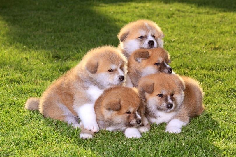 akita puppies_sima_Shutterstock