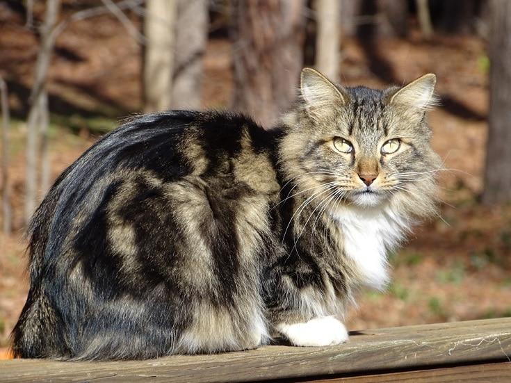 american bobtail-cat_Shutterstock_Mary-McDonald