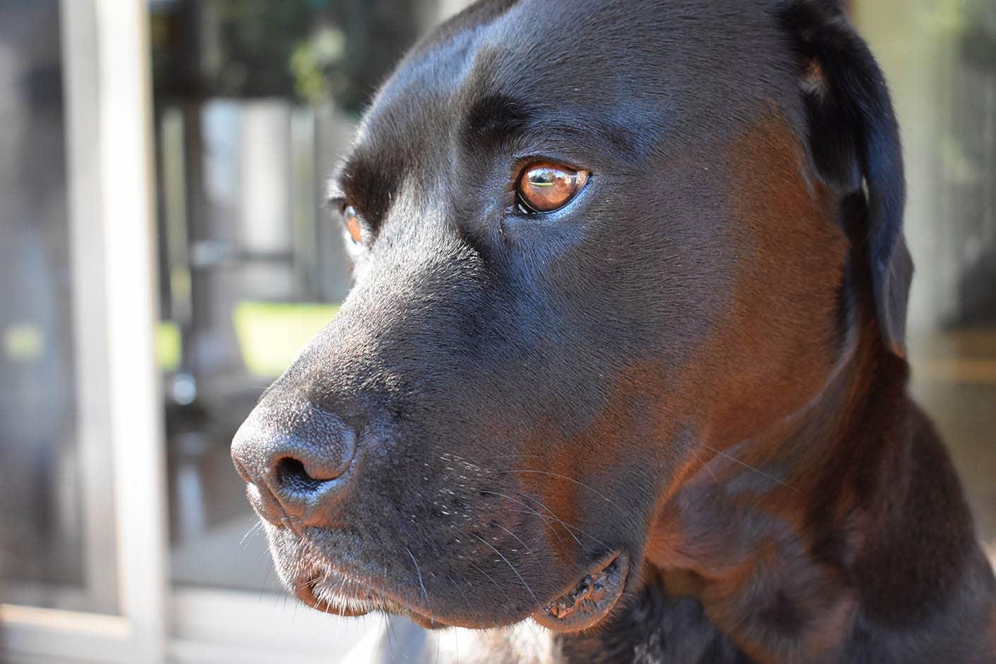 American Bulldog Labrador close up