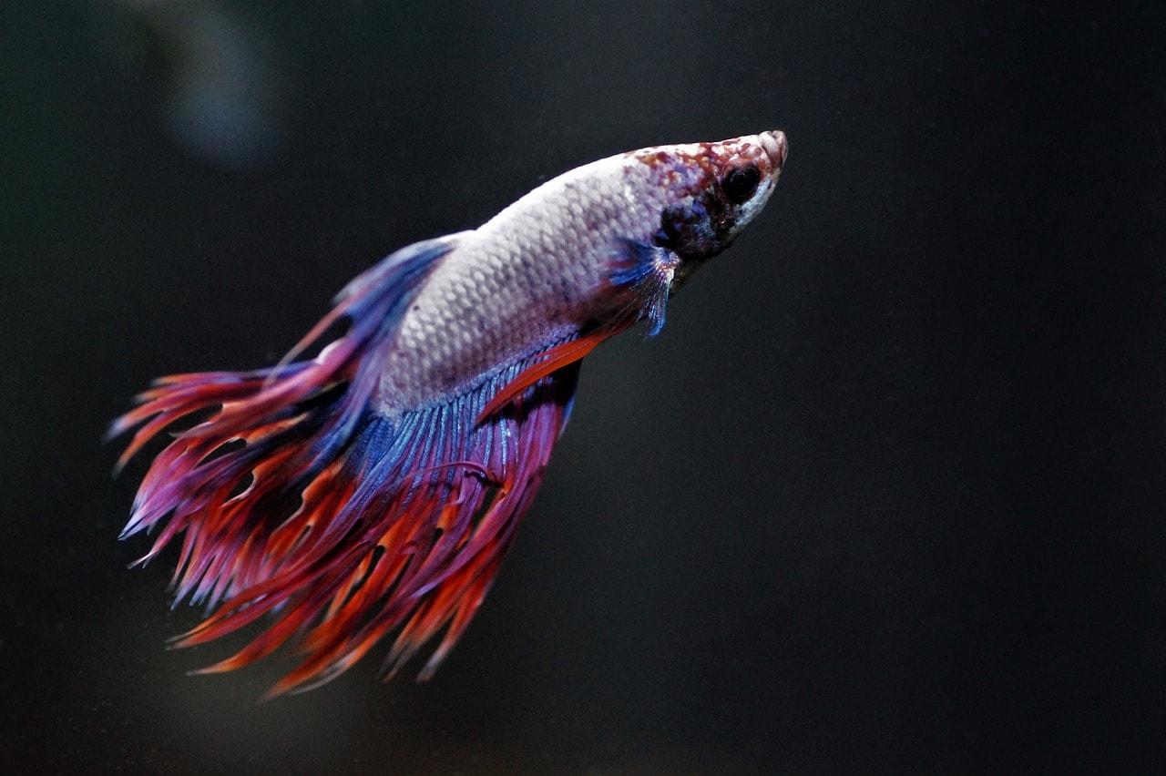 asian betta fish