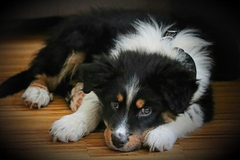 australian-shepherd dog_Thomas G._Pixabay