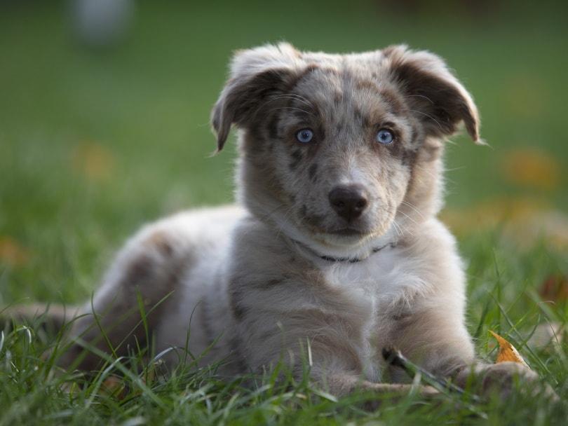 australian shepherd puppy_Wolfgang_Pixabay