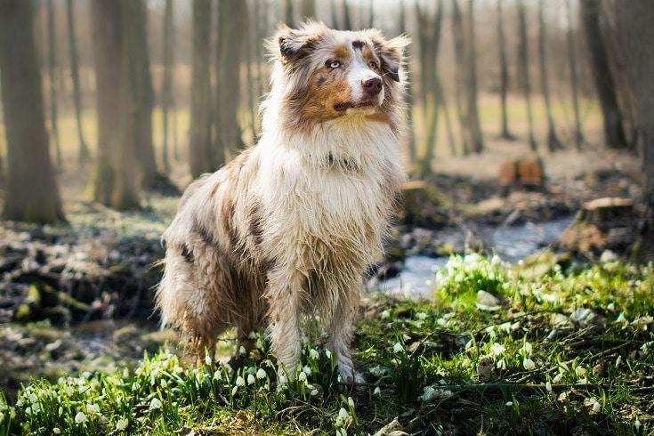 australian shepherd_JitkaP_ Shutterstock