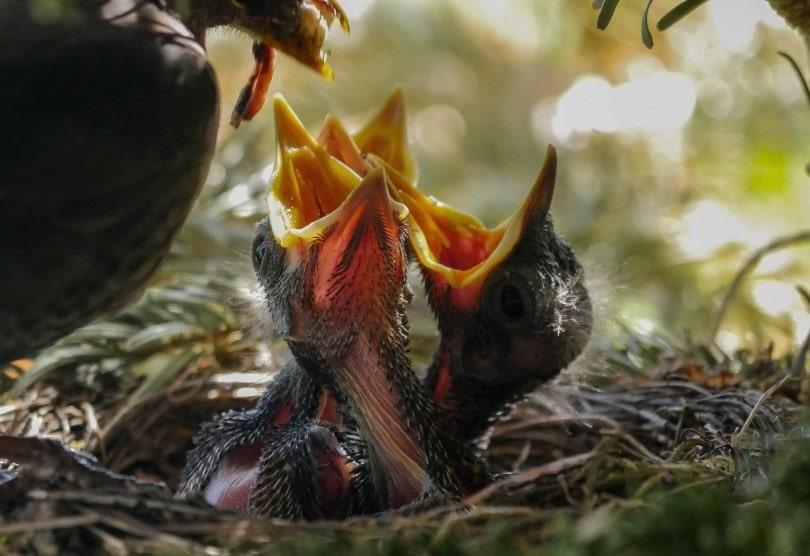 baby birds eating_Piqsels
