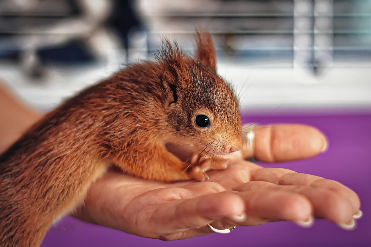 baby squirrel outside cage