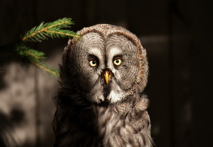 bart-owl_Alexas_fotos_Pixabay