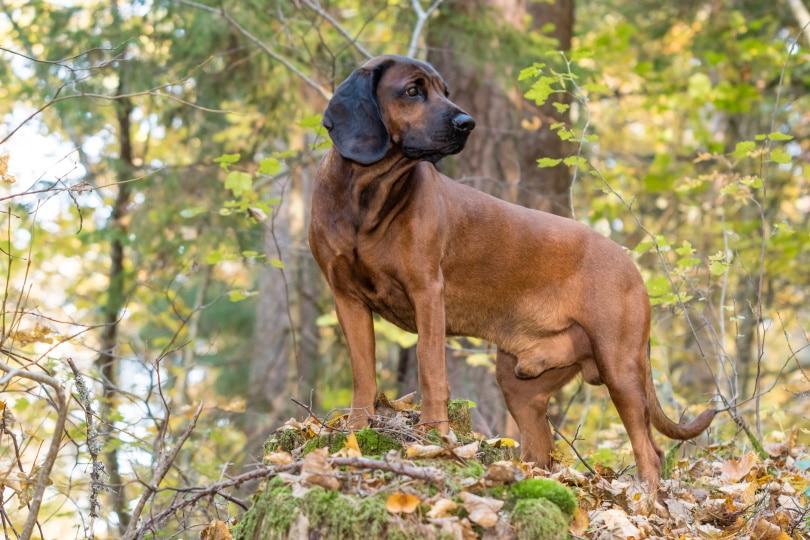 bavarian mountain hound_Aleksandr Abrosimov_Shutterstock